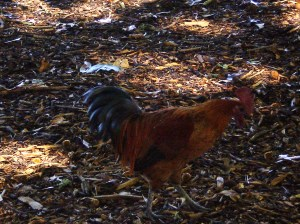 Chased this rooster around for ages trying to snap a pic!