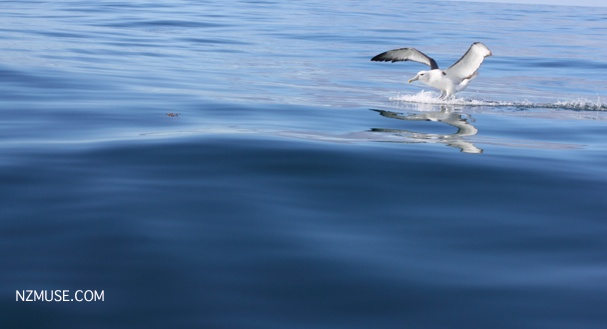 Albatross landing on water off Kaikoura coast