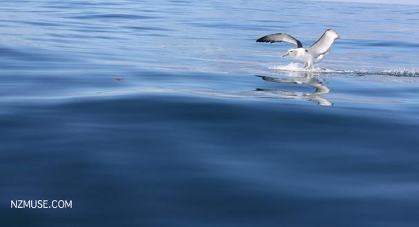 Albatross landing on water off Kaikoura coast